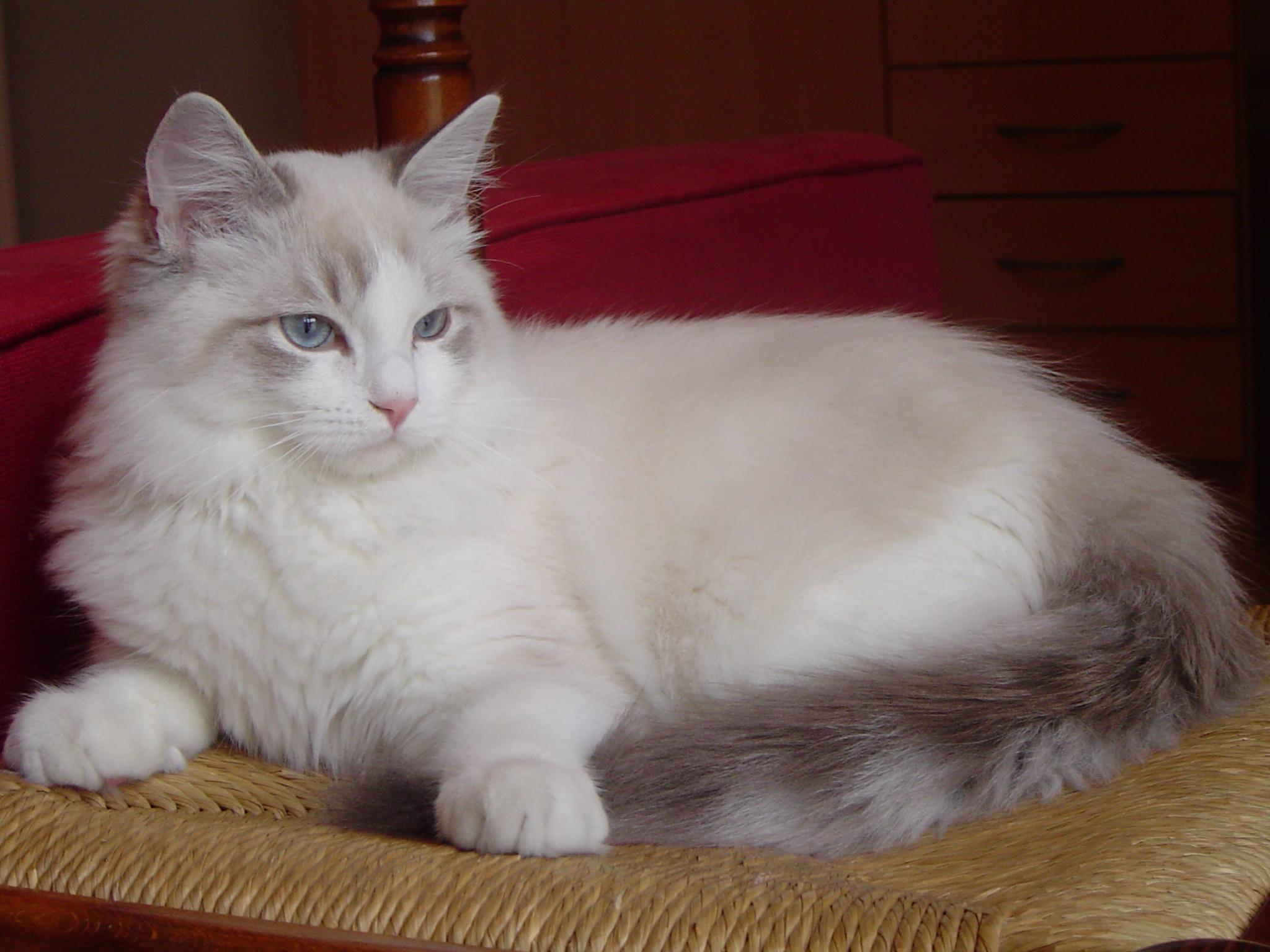 chat british adulte a vendre bâle